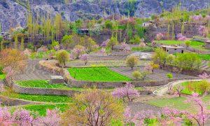 Cherry Blossom Season at Hunza